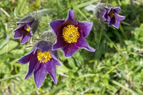 Pasqueflowers, Barnack Hills + Holes NNR _DSF3787
