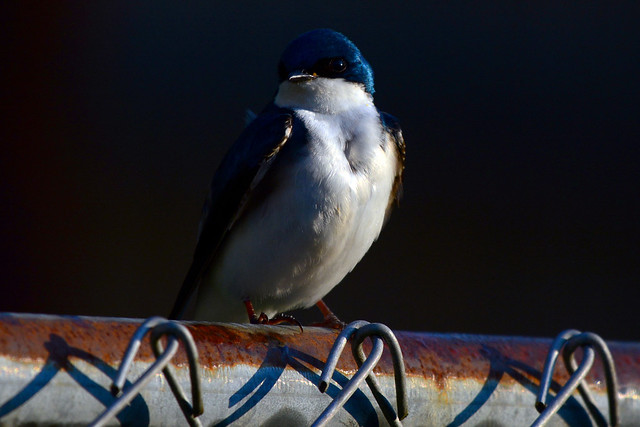 Tree Swallow in Minimal Morning Light