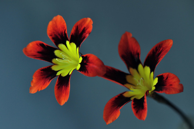 Sparaxis tricolor or Harlequin flower