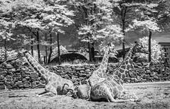Giraffe and greater kudu.