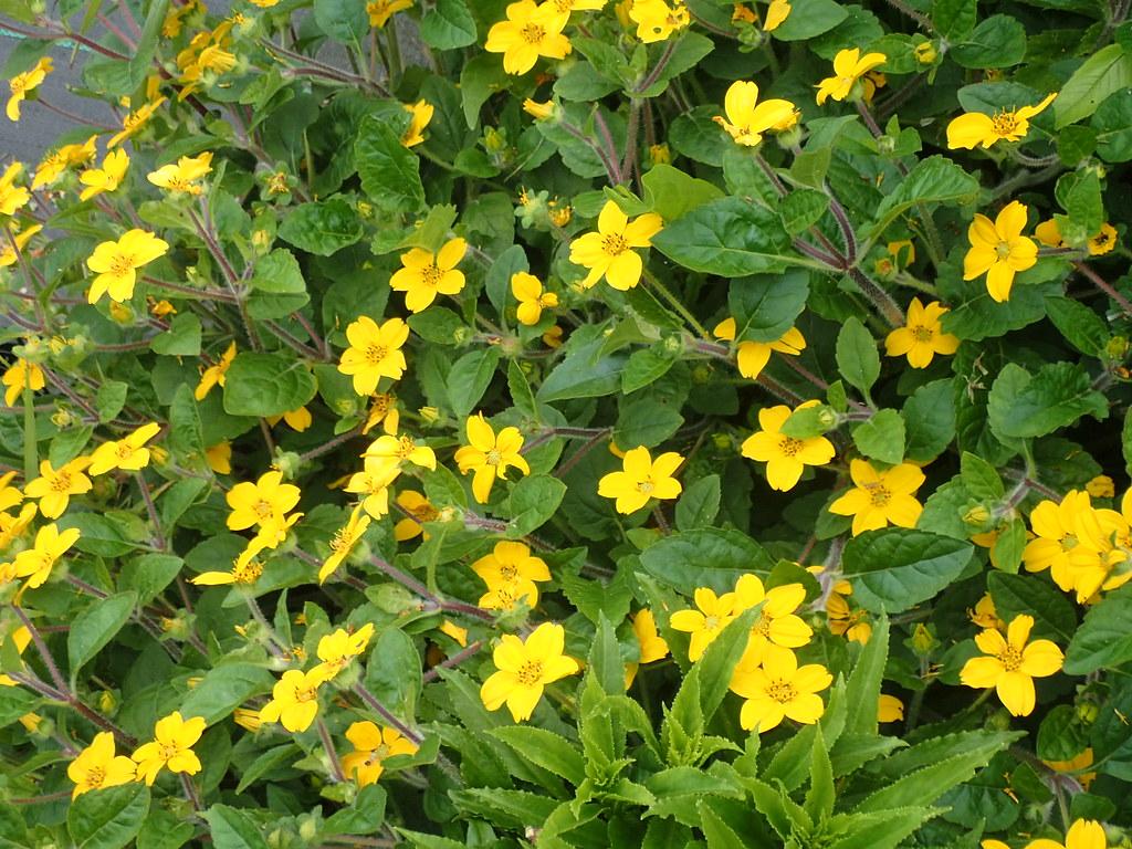 Chrysogonum virginicum australe