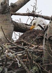 Shy Eagle