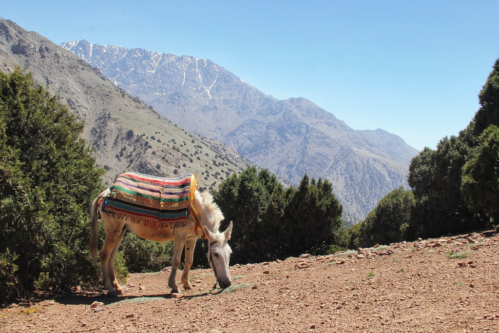 One of our mules having a graze at our lunch spot on the first day of our Mount Toubkal trek