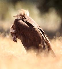 2019_06_10 HOR - Cinereous Vulture (Aegypius monachus) 04
