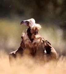 2019_06_10 HOR - Cinereous Vulture (Aegypius monachus) 03