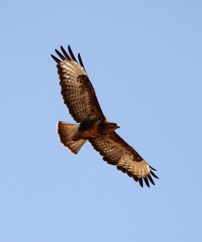 2019_06_10 HOR - Common Buzzard (Buteo buteo) 09