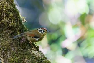 Rufous-winged Fulvetta (Alcippe castaneceps) 栗頭雀鶥