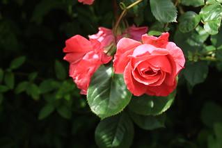 rose in sun