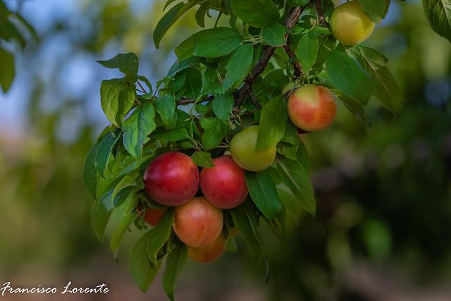 Frutas de Verano Ciruelas