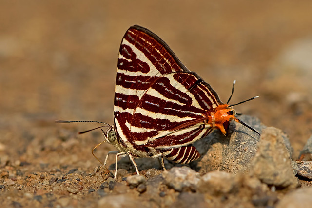Cigaritis seliga - the Large Long-banded Silverline