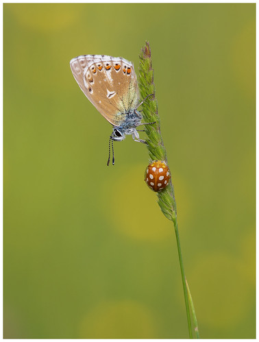 Adonis Blue | by nigel kiteley2011