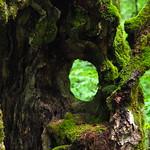 fresh green through the old tree