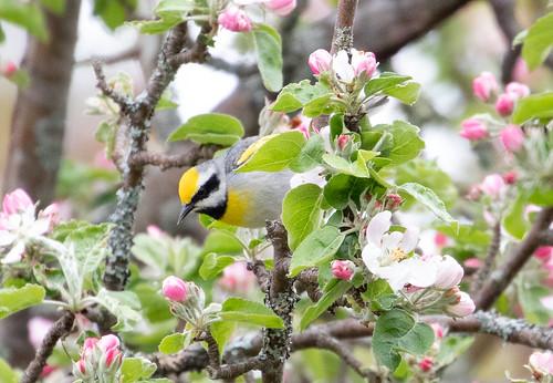 Golden-winged Warbler hybrid with Blue-winged Warbler