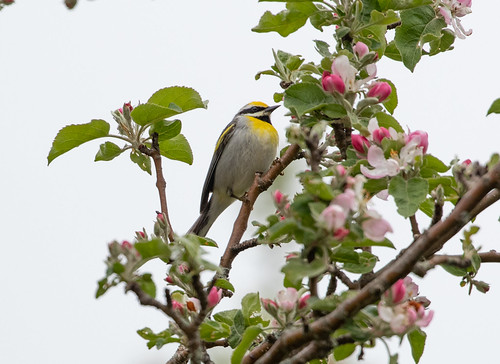 Golden-winged Warbler hybrid with Blue-winged Warbler