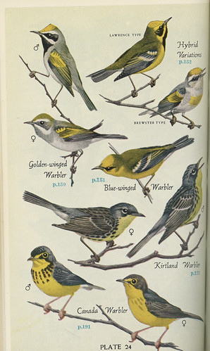 Information about Blue-winged and Golden-winged Warblers and hybrids from Pough