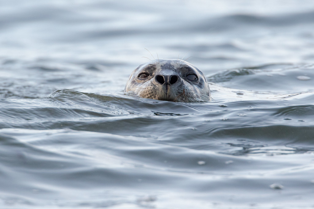 A harbor seal watches me with its head just out of the water, nostrils flared wide as it takes a quick breath, at Cobble Beach in Yaquina Head Outstanding Natural Area in Newport, Oregon in October 2017