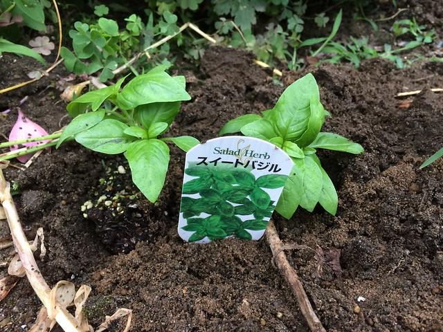 ハーブの苗を植える