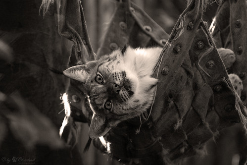 Lynx in a hammock