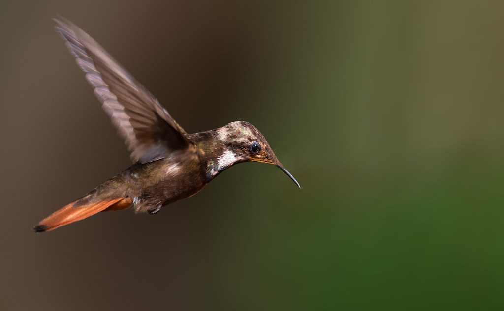 Chrysolampis mosquitus - Ruby-topaz Hummingbird - Colibrí Rubí Topacio juvenil 75