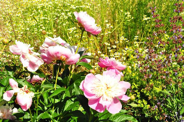 Juni 2019 ... Heilkräuter- und Arzneimittelgarten neben der Klosterkirche in Lobenfeld --- Foto: Brigitte Stolle