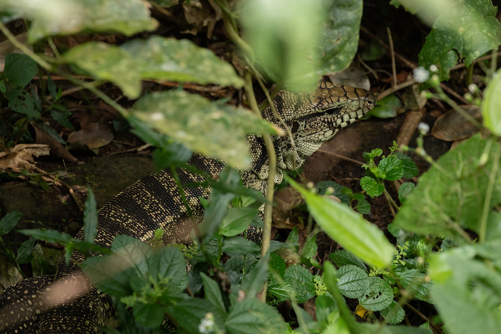 Black-and-white Tegu (Salvator/Tupinambis merianae)