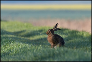 Brown Hare (image 2 of 2)