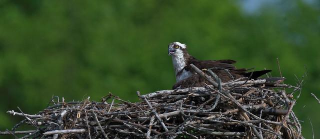 Balbuzard ------- Aigle pêcheur ------ Osprey ---------       águila pescadora