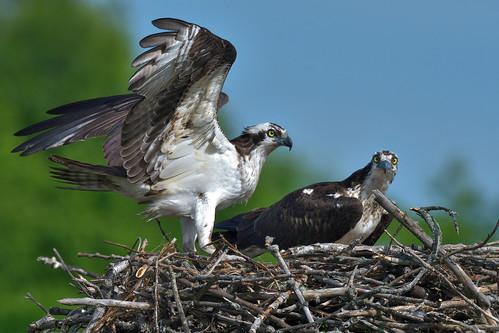 Balbuzard ------- Aigle pêcheur ------ Osprey ---------       águila pescadora   by Jacques Sauvé