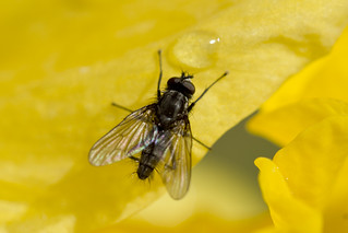 Thirsty Fly