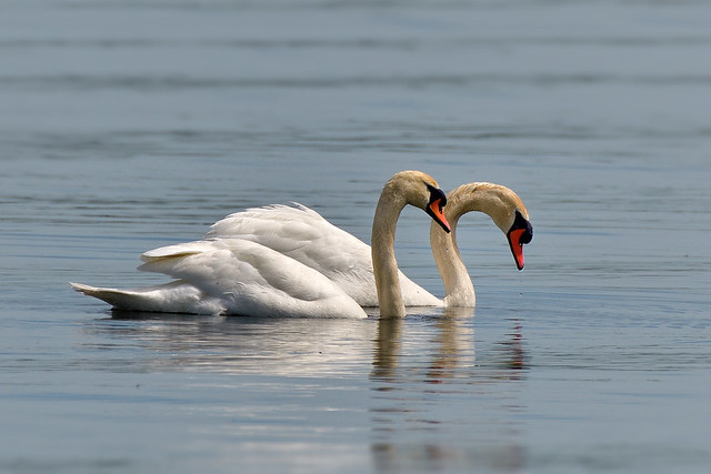 Cygne tuberculé ou Cygne muet ---- Mute swan ----    Cisne mudo o Cisne blanco