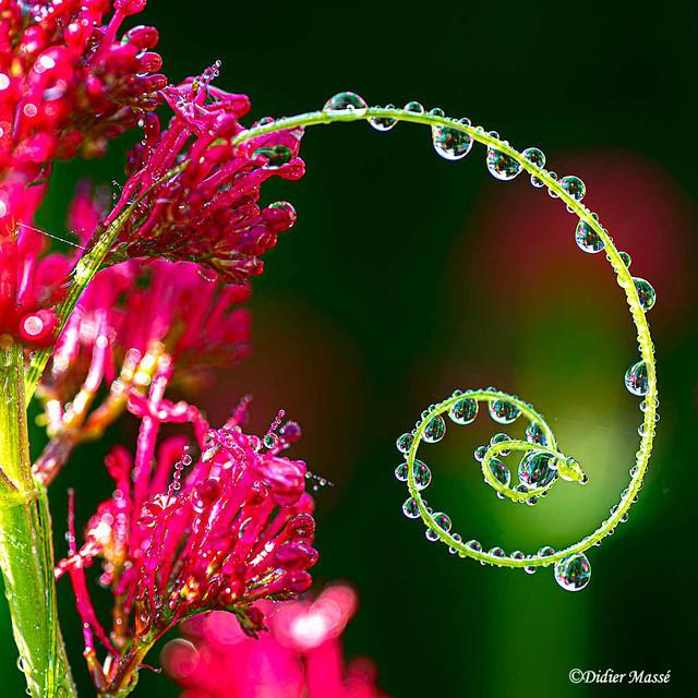 Perles de rosée sur une vrille de bryone avec fleurs de valériane (1)