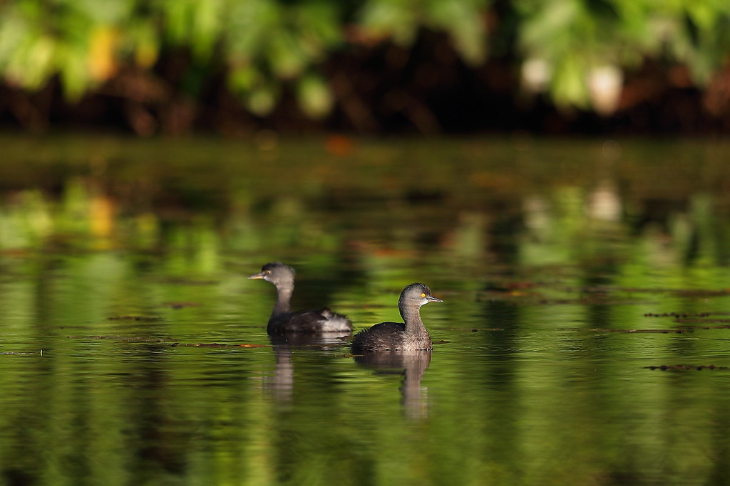 Least Grebes