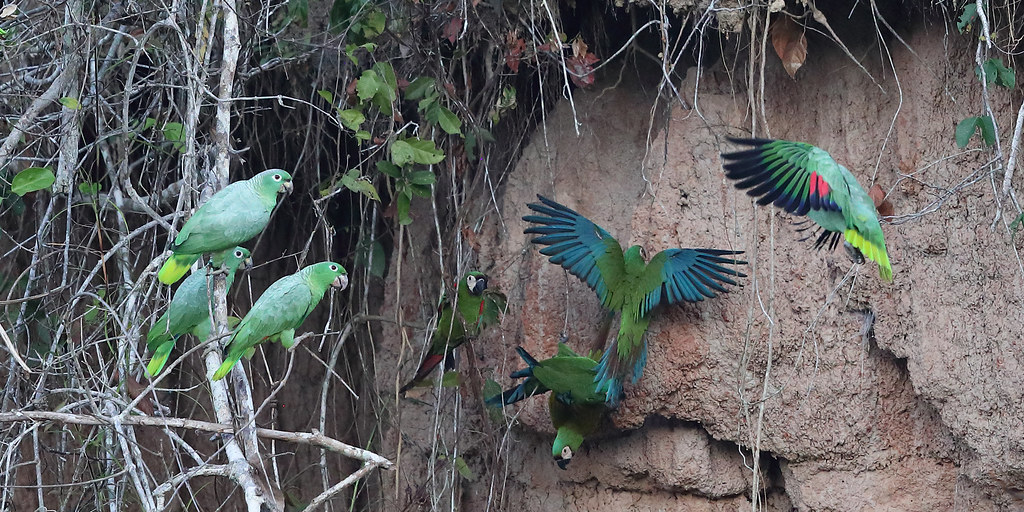 Chestnut-fronted Macaws & Southern Mealy Amazons
