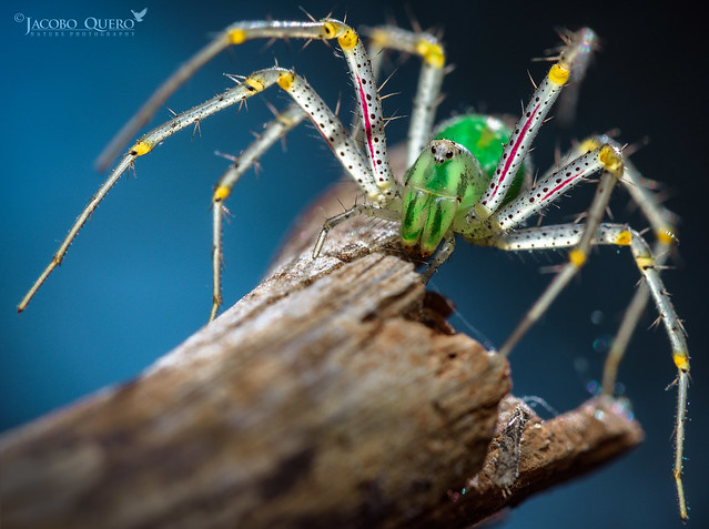 Araña lince verde/ Green lynx spider (Peucetia viridis)