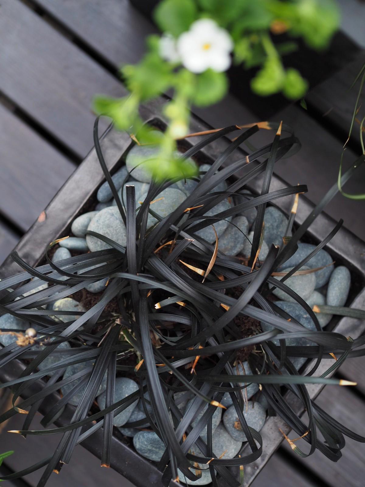 käärmeenparta-kasvi