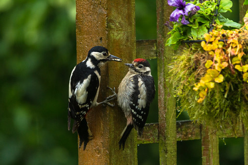 feeding the chick