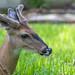Deer resting in a field