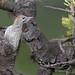 Pito real juvenil (Picus viridis)