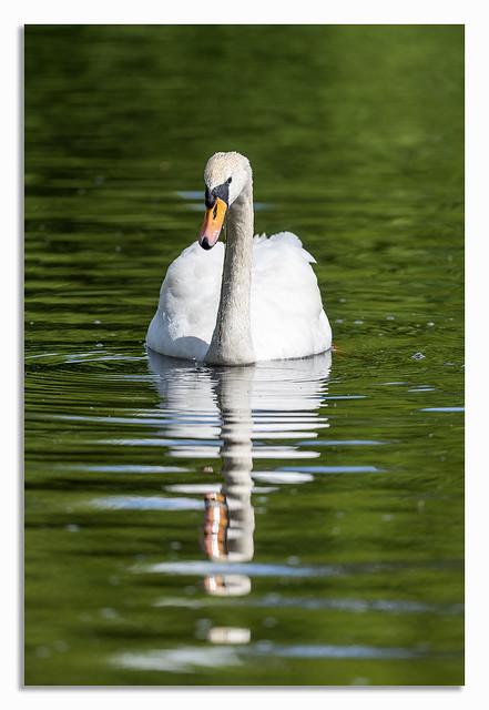 Super Elegant Swan.