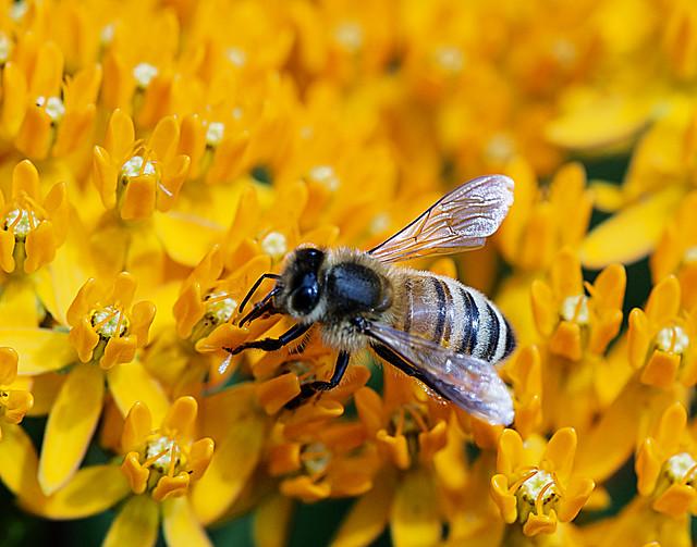 HoneyBee-3046
