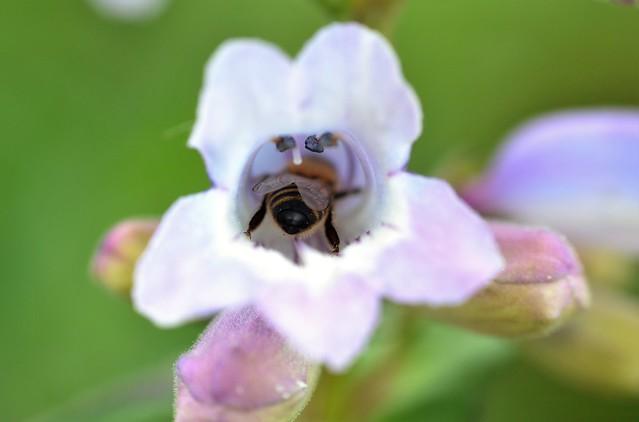 honey bee on penstemon 'Sour Grapes'