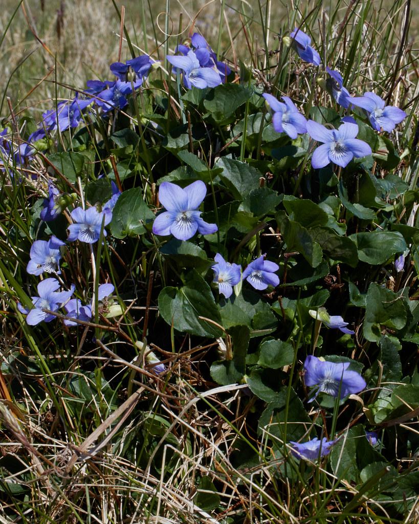 Viola x intersita [V. riviniana x V. canina] (hybrid of Common Dog-violet x Heath Dog-violet)