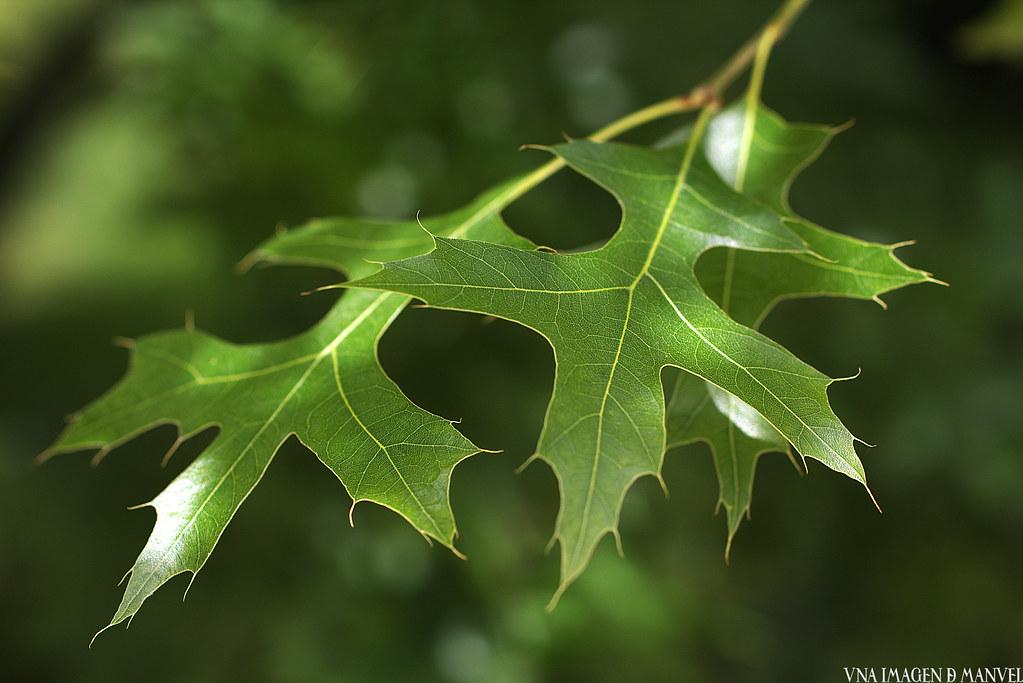 Hojas del Roble de los pantanos, Quercus palustris