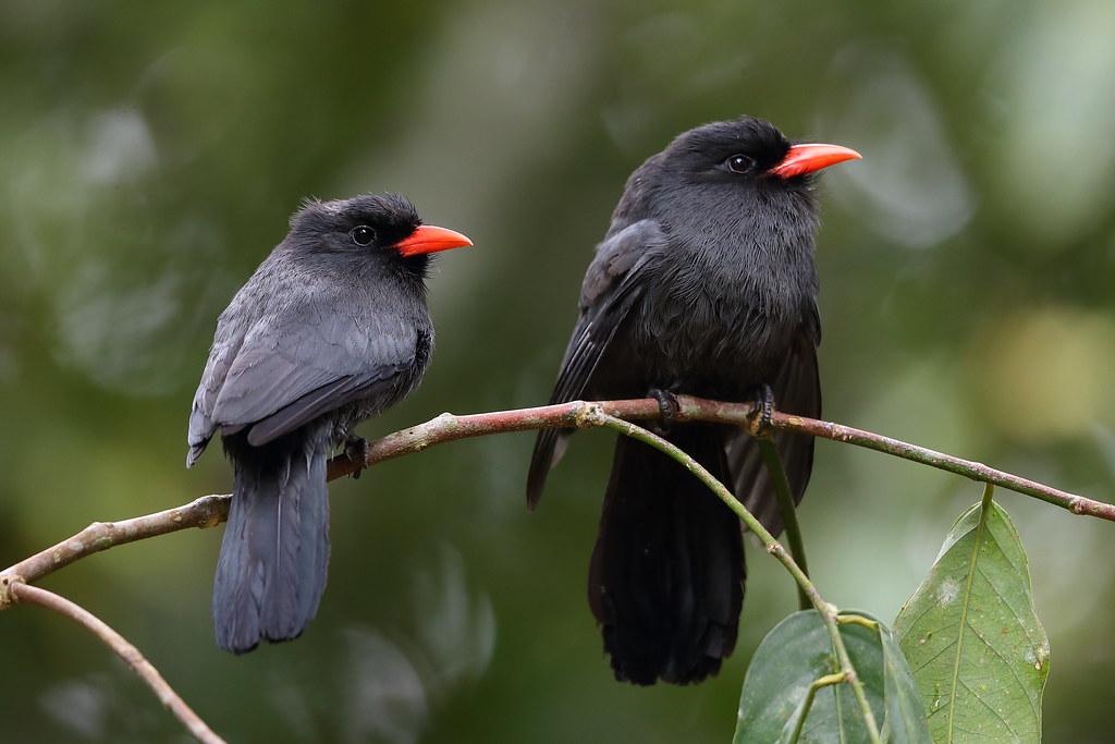 Black-fronted Nunbirds