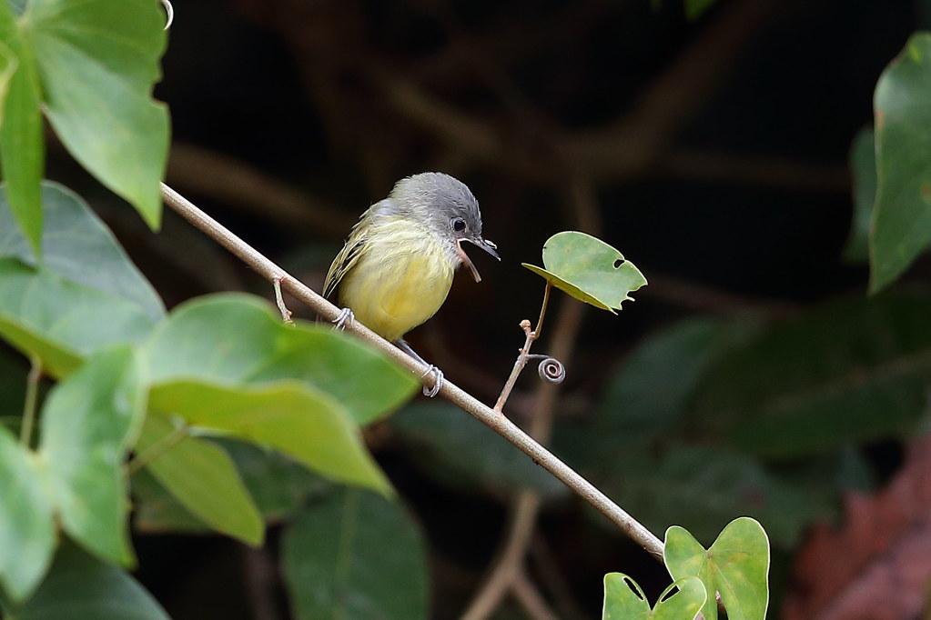 Juvenile Spotted Tody-flycatcher