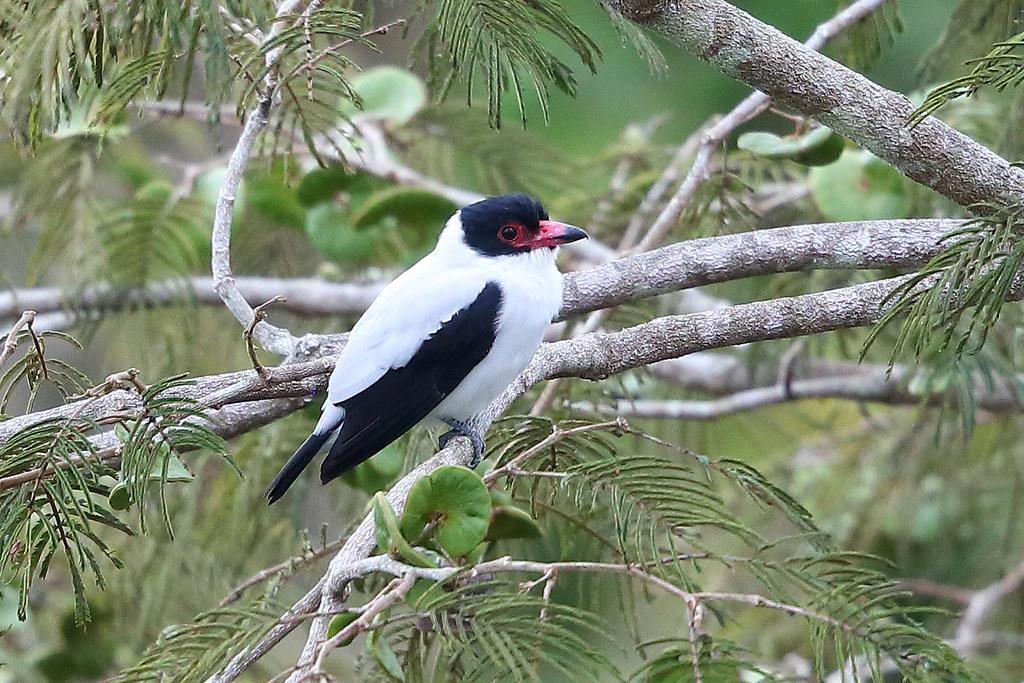 Western Black-tailed Tityra