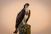 young osprey in the setting sun by robertskirk1