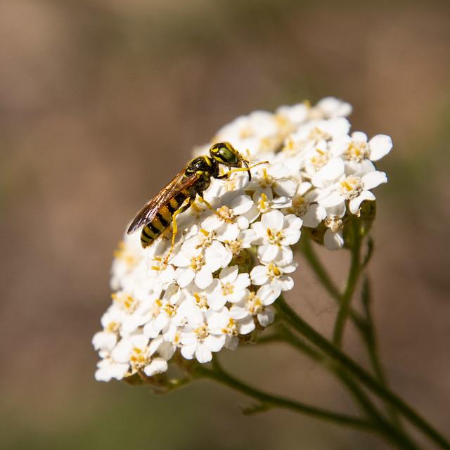 wasp ?