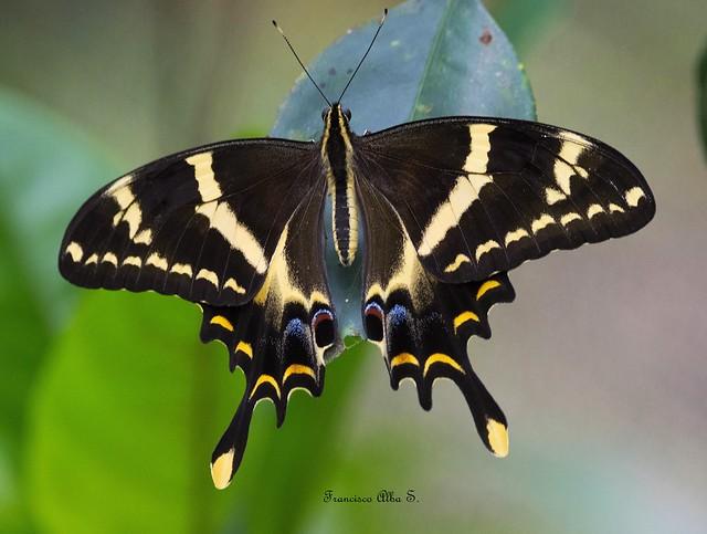 Cola de Golondrina Macaón (Heraclides machaonides) Scarce Hispaniolan Swallowtail