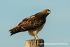Western Red-tailed Hawk (Buteo jamaicensis ssp. calurus), light adult DSD_7886 by fotosynthesys